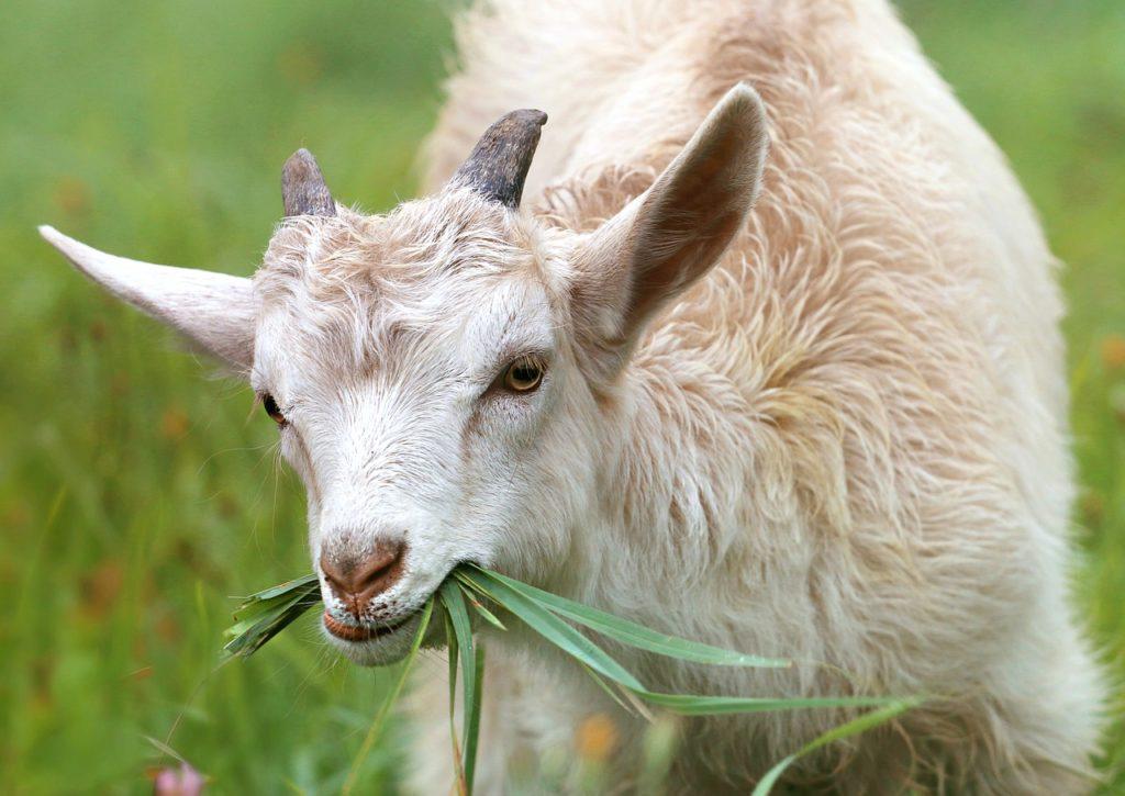 Une chèvre dans une ferme